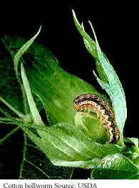 Cotton Bollworm
