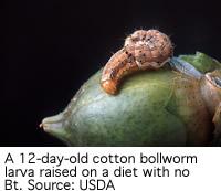 Control cotton bollworm